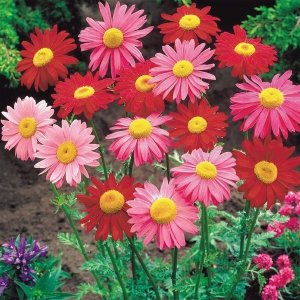 種 花たね 赤花除虫菊混合 1袋(150mg) / 花種 花の種 はなたね アカバナムシヨケギク ピレスラム 切花向き 切花向き花たね