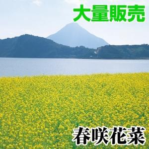 種 花たね 大量たね 花菜 春咲花菜 1袋(1リットル入)/タネ たね|kokkaen