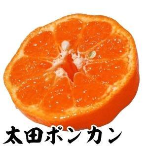 果樹苗 カンキツ 太田ポンカン特等苗 1株 / 果物 フルーツ苗 kokkaen