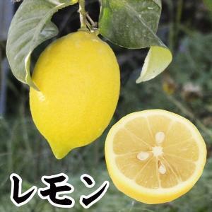 果樹苗 カンキツ レモン特等苗 1株 / 果物 フルーツ苗 檸檬 れもん kokkaen