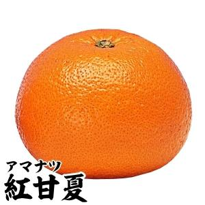 果樹苗 カンキツ 紅甘夏特等苗 1株 / 果物 フルーツ苗 kokkaen