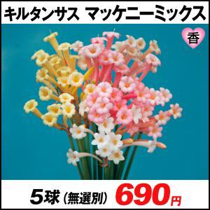 春植え球根 キルタンサス マッケニーミックス(無選別) 10球 /|kokkaen