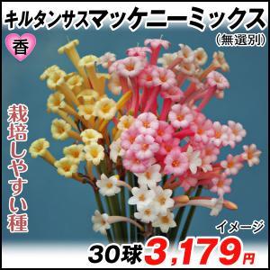 春植え球根 キルタンサス マッケニーミックス(無選別) 30球 /|kokkaen