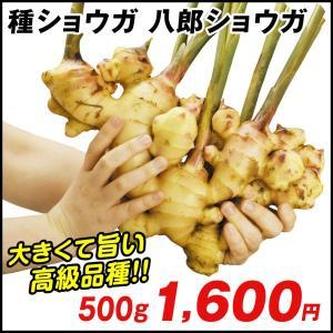 種ショウガ 八郎ショウガ 500g / 生姜 しょうが たね芋