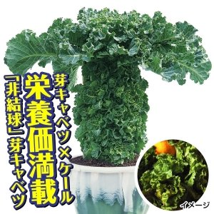 山菜苗 プチヴェールR 10株