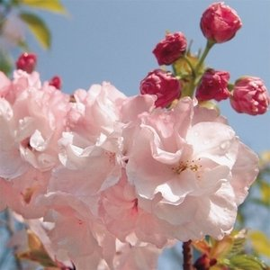 桜 旭山 1株|kokkaen