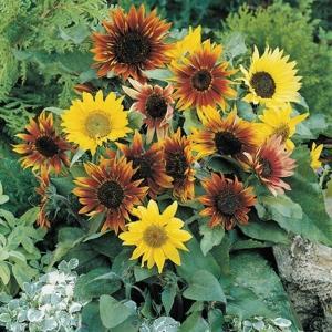 花たね ひまわり 低草丈混合 1袋(500mg) / 種 タネ|kokkaen