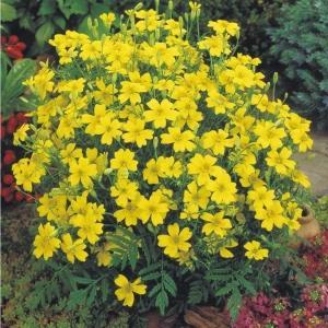 花たね メキシカンマリーゴールド黄 1袋(300mg) / 種 タネ|kokkaen