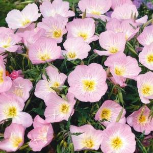 種 花たね 昼咲月見草 1袋(150mg)/タネ たね|kokkaen