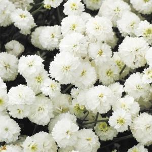 種 花たね アキレア ダブルダイアモンド 1袋(10mg)/タネ たね|kokkaen