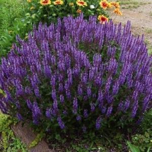商品情報 よく分枝し、ボリューム満点!植えつけて約1年で写真のような大株に育ちます!春から秋まで長く...