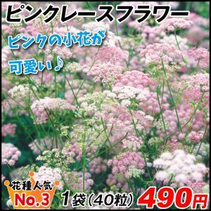 種 花たね 切花向き ピンピネラ ピンクレースフラワー 1袋(40粒) / タネ 種 切花 フラワー...