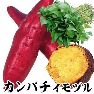 イモヅル(芋づる) カンパチイモヅル 20本 / さつまいも苗 サツマイモ苗 薩摩芋|kokkaen