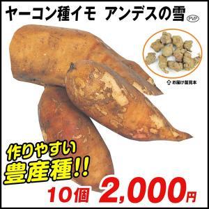 ヤーコン 種芋 アンデスの雪P 10個 / 種いも タネイモ 家庭菜園 自給自足 球根 国華園