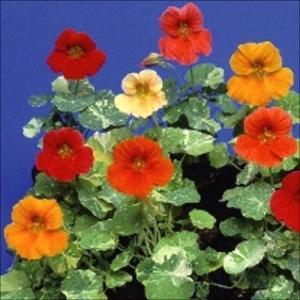 花たね 金蓮花矮性混合 1袋(20粒)
