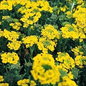 花たね 種 黄花アリッサム 1袋(200mg) / タネ 種 花壇 鉢植え ガーデニング 国華園