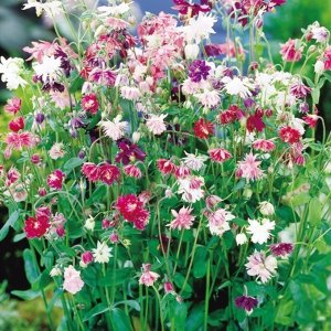 花たね 多年草 西洋おだまき八重咲混合 1袋(200mg) / 種 タネ|kokkaen