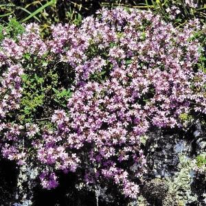 花たね 多年草 クリーピングタイム 1袋(100mg) / 種 タネ|kokkaen