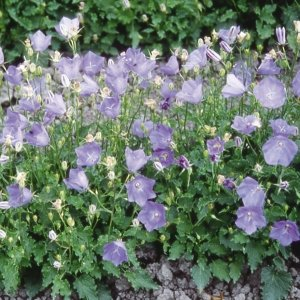 花たね 多年草 カンパニュラ カルパチカ 1袋(100mg) / 種 タネ|kokkaen