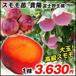 果樹苗 スモモ 貴陽 富士野生桃R 1株 / 果物苗 フルーツ苗 kokkaen