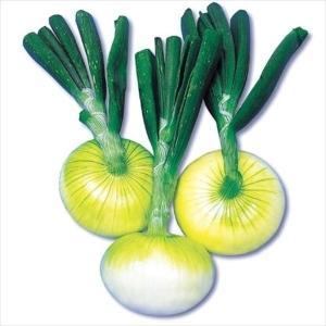 種球 冬どり玉ねぎ F1フレッシュオニオン 500g / 国華園|kokkaen