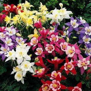 種 花たね 西洋おだまき矮性混合 1袋(150mg) / 花種 花の種 はなたね アキレギア 西洋苧環 セイヨウオダマキ kokkaen