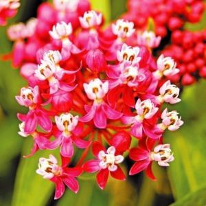 種 花たね 多年草 アスクレピアス ソウルメイト 1袋(50粒)/タネ たね