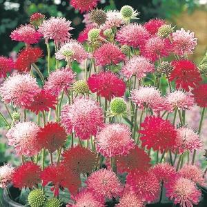 種 花たね 多年草 クナウティア メルトンパステルミックス 1袋(30粒)/タネ たね