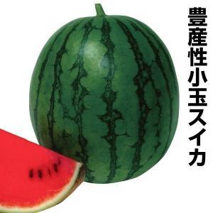 野菜たね スイカ F1こだまっ娘 1袋(2ml) / 種 タ...