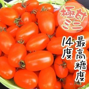 野菜たね トマト F1ゴールデンスイート 1袋(12粒) / 種 タネ kokkaen