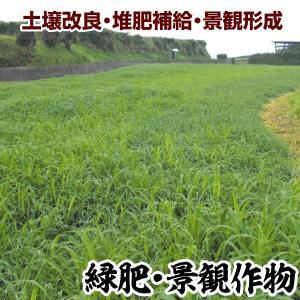 野菜たね 緑肥・景観作物 ライ麦 R-007 1袋(1kg)
