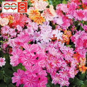 花たね 多年草 レウィシア エリーゼミックス 1袋(15粒)