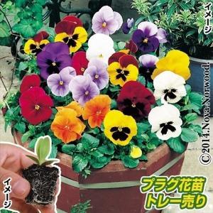 冬花壇の定番 商品情報 大きくて色鮮やかな花が長期間咲き続けます。性質が強く育てやすい! お届け状態...