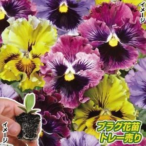 プラグ花苗 パンジーフリル咲ミックス(70本入・花色無選別)|kokkaen