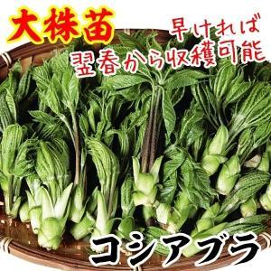 山菜 大株コシアブラ 2株 / 国華園|kokkaen
