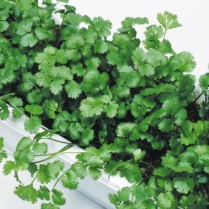 野菜たね 種 ハーブ パクチー(コリアンダー) 1袋(3ml) / 野菜の種 国華園