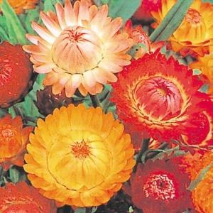 種 花たね 帝王貝細工 混合 1袋(200mg) / 花種 花の種 はなたね テイオウカイザイク ムギワラギク ヘリクリサム 鉢 花壇 プランター