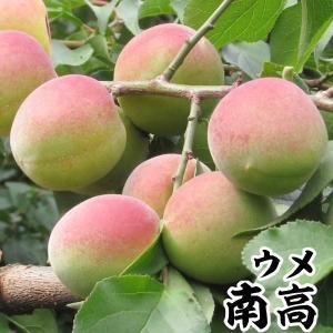 果樹苗 ウメ 南高(大梅) 1株