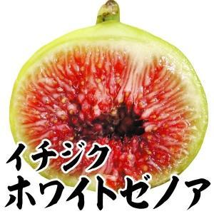 果樹苗 イチジク ホワイトゼノア 1株 / 苗木 いちじく 無花果 甘い 育てやすい 国華園