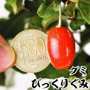 グミ 苗木 びっくりぐみ 1株 / 茱萸 苗 グミの木 果樹苗 国華園|kokkaen