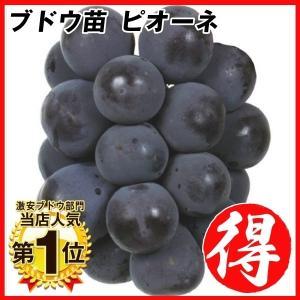 ブドウ 苗木 ピオーネ 1株 / ぶどう 葡萄 苗 ぶどうの木 ブドウの苗木 果樹苗 国華園|kokkaen