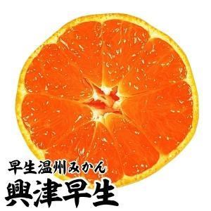 果樹苗 カンキツ 興津早生 特等苗 1株 / みかん 蜜柑 ミカン 苗 苗木|kokkaen