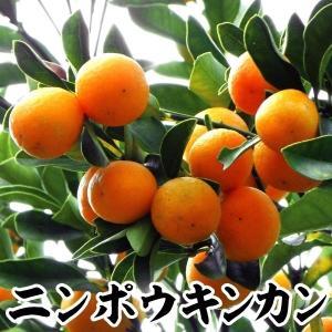 果樹苗 カンキツ ニンポウキンカン 特等苗 1株|kokkaen