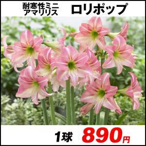 春植え球根 耐寒性アマリリス ロリポップ 1球 /|kokkaen
