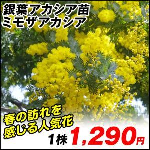 花木 ミモザアカシア 1株|kokkaen