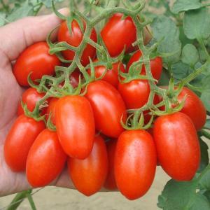 種 野菜たね トマト F1豊産あま娘 1袋(10粒) / 野菜の種 ミニトマト 国華園 ytsc84