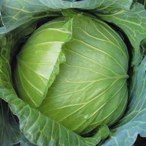 野菜たね キャベツ F1リピートキャベツ 1袋(2ml) / タネ 種