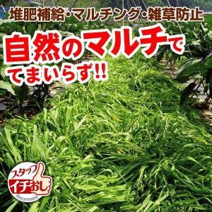 野菜たね 緑肥・景観作物 マルチ大麦 てまいらず 1袋(1kg)
