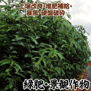 野菜たね 緑肥・景観作物 セスバニア 1袋(0.5kg)