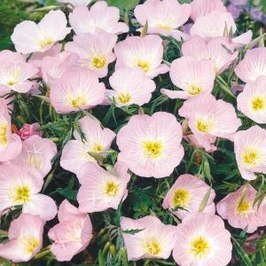 花たね 種 多年草 昼咲月見草 1袋(200mg) / タネ 種 花壇 鉢植え ガーデニング 国華園